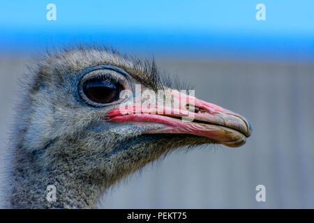 La tête d'autruche gros plan sur un arrière-plan flou. Bec rouge, de grands yeux surpris et poils ébouriffés. Profondeur de champ. Banque D'Images