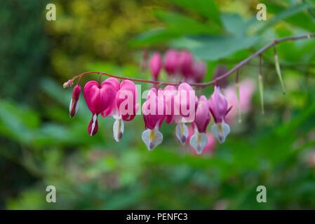 Fleurs en forme de coeur rose accrochée à une branche - fleurs jardin fleurir dans l'été Banque D'Images