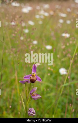 L'orchidée abeille, Central-Franconia, Alpes de Franconie, Bavière, Allemagne, (Ophrys apifera) Banque D'Images