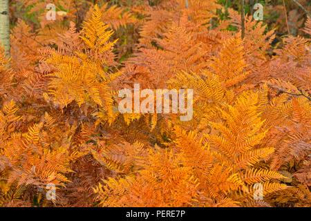 Fougère aigle (Pteridium aquilinum) frondes à l'automne, le Grand Sudbury, Ontario, Canada Banque D'Images