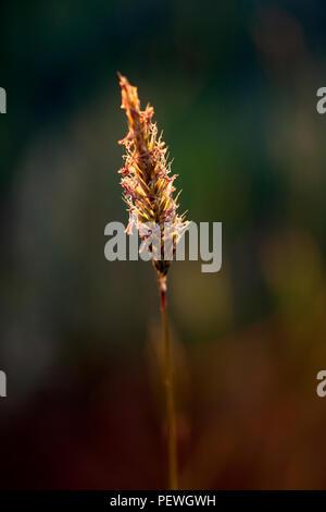 Shallow DOF éclairé par LED macro d'une mauvaise herbe rougeoyant dans un pré; fin de la lumière du jour Banque D'Images
