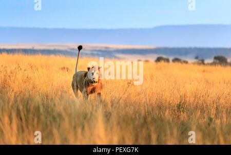 Jeune homme hargneux Mara lion (Panthera leo) frais d'attaquer un rival sur les prairies de la Masai Mara, Kenya dans le comportement agressif typique Banque D'Images