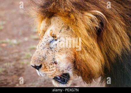 Gros plan de la tête et de la crinière d'un homme adulte Mara lion (Panthera leo) couverts de mouches dans le Masai Mara, Kenya Banque D'Images