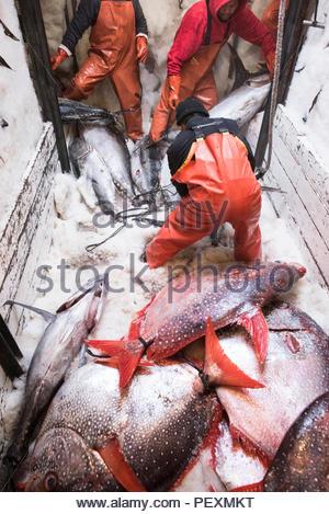 Déménagement matelots autour de poissons dans le congélateur sur bateau de pêche dans la région de San Diego, Californie, USA Banque D'Images