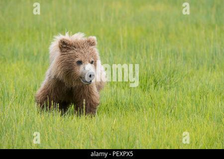 La côte de l'Alaska brown bear cub, Lake Clark National Park Banque D'Images