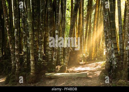 Forêt de bambous géants Banque D'Images