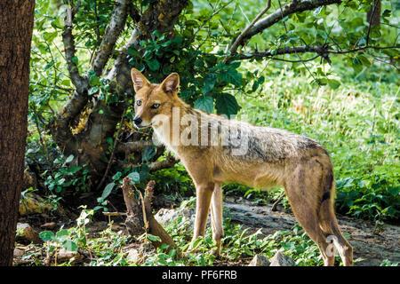 Indian jackal (Canis aureus indicus) en forêt