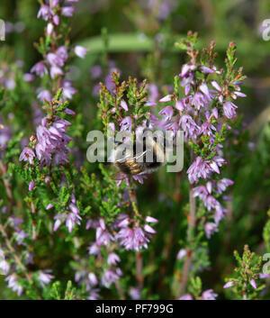 La collecte de nectar de bumblebee bruyère bruyère en fleur Banque D'Images