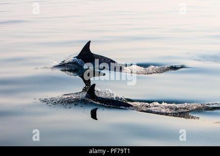 Une paire d'Short-Beaked agile et rapide des dauphins communs, Delphinus delphis, nager dans l'océan Atlantique Nord au large de Cape Cod, au Massachusetts. Banque D'Images