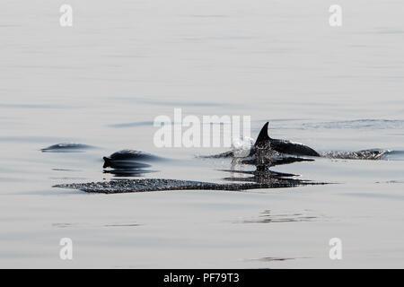 Short-Beaked agile et rapide des dauphins communs, Delphinus delphis, nager dans l'océan Atlantique Nord au large de Cape Cod, au Massachusetts. Banque D'Images