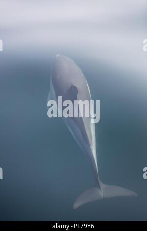 Un Short-Beaked rapide et agile dauphin commun, Delphinus delphis, nage dans l'océan Atlantique Nord au large de Cape Cod, au Massachusetts. Banque D'Images