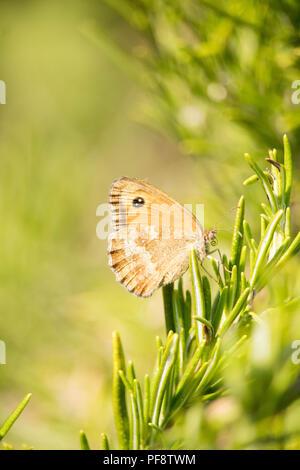 Fermer-shot d'un gatekeeper isolés, Pyronia tithonus Papillon, aussi connu comme couverture Brown s'installe sur une plante en sirotant le nectar. L'Essex, Royaume-Uni. Banque D'Images