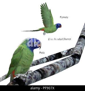 Amazone à tête bleue - l'amazone à tête bleu est un oiseau bruyant de l'Amérique centrale et du Sud et se nourrit de fruits et de graines. Banque D'Images