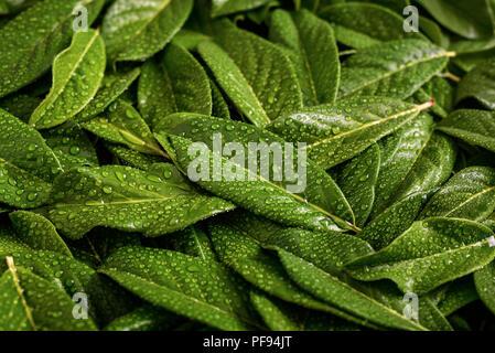 Gouttes d'eau sur les feuilles d'un vert vif. Banque D'Images
