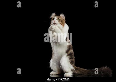 Race de chat drôle American Curl avec oreilles torsadée, debout sur ses pattes et attraper ses pattes comme la prière devant l'arrière-plan noir isolé