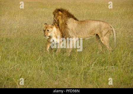 Les Lions préparent à s'accoupler dans les hautes herbes, Masai Mara, Kenya Banque D'Images