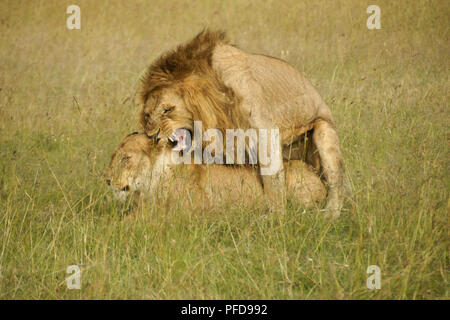 Les Lions dans les hautes herbes, Masai Mara, Kenya Banque D'Images