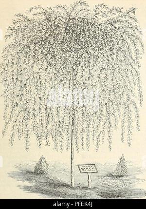 . Catalogue descriptif de hardy arbres d'ornement, arbustes, plantes vivaces, etc.: vingt-quatrième édition. Les arbres d'ornement arbustes; catalogues; Catalogues Catalogues Catalogues; fleurs roses. Arbres d'ornement, arbustes, etc. 15. YOUNGS Bouleau pleureur. (À partir d'un modèle de notre collection.) .B. nana. Le bouleau glanduleux. Un arbuste buissonnant, originaire de l'Europe et l'Amérique, de plus en plus rarement plus de cinq pieds, laisse de nombreuses, rond, très crenated. Le bois jeune. Une charmante miniature tree. $1.00. B. nigra. Hiver ou Rouge Bouleau. Une espèce de croissance modérée, élégant, avec un feuillage fin Banque D'Images