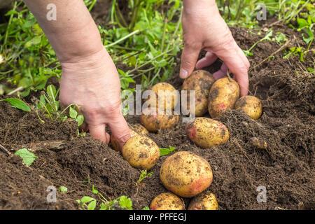 La récolte de pommes de terre fraîches mains femelle du sol Banque D'Images