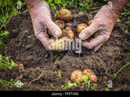 Les mains d'hommes biologiques frais de récolte de pommes de terre Banque D'Images