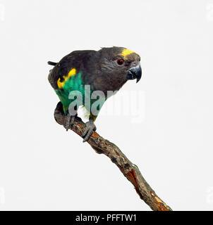 Sénégal (Poicephalus senegalus perroquet) sur une branche, close-up, side view Banque D'Images