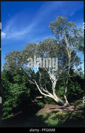 Eucalyptus pauciflora ssp niphophila (Alpine snow gum), Tree in park Banque D'Images