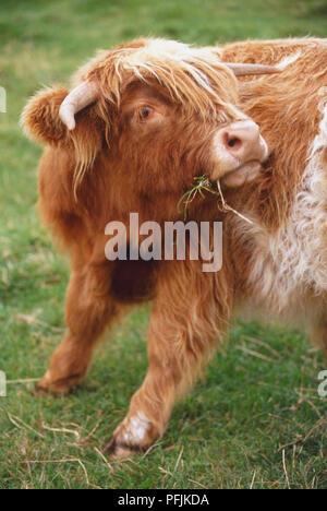 Grande Bretagne, Ecosse, Lowlands, Loch Lomond, Highland cow grazing on grass, partie avant. Banque D'Images