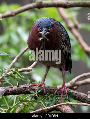 Le Héron vert bird vous regardant dans son environnement. Banque D'Images