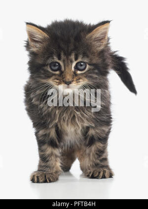 Fluffy chaton brown tabby, 8 semaines Banque D'Images