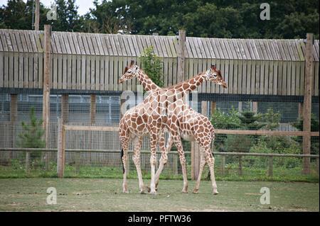 Croisement de deux girafes au Yorkshire Wildlife Park, Doncaster, South Yorkshire, UK