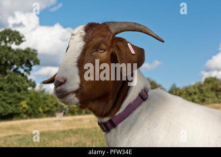 Chef d'un 'castré dit s' chèvre Boer animal avec un collier violet et bonne cornes, Berkshire, Août Banque D'Images