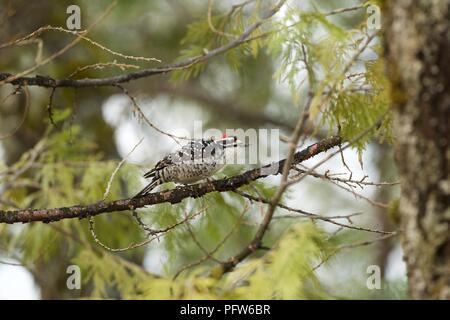 Le pic de Nuttall masculins (Picoides nuttallii) qui se nourrissent de branche, Bass Lake, Californie Banque D'Images