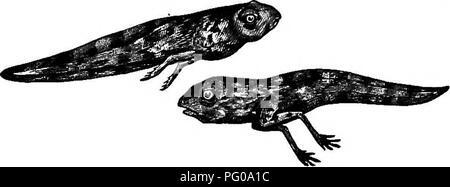 . Activités des animaux; un premier livre au zoo?logie. Zoologie; le comportement animal. Les têtards et grenouilles. 189 membres sont attachés au squelette axial par l'intermédiaire de la ceinture pelvienne. Les os du bras sont constitués de l'humérus, ou l'avant-bras, la radio-cubitus, correspondant à l'iy. Fig. 146.-différents stades de têtard. les deux os, le radius et le cubitus en l'homme, le canal carpien ou poignet-os, l'articulation métacarpienne ou la main-d'os, et les doigts ou des phalanges. Dans la jambe ou la cuisse du fémur à l'os, le shin-correspondant à l'os du tibia. Veuillez noter que ces images sont extraites de la page numérisée des images qui peuvent avoir été dig Banque D'Images