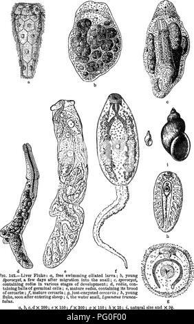 . Zoologie agricole. Zoologie. d e f Fig. 142.-La douve du foie: une piscine, une larve cilié; &AMP; jeunes, ^orocyst, quelques jours après la migration dans l'escargot; c, contenant des sporocystes, redisa à divers stades de développement; d, rédie, contenant des boules de cellules germinales; e, mature, contenant ses rédie couvée des cercaires; /, les cercaires matures; g, .iust-cercaire enkystés; h, jeunes fluke, peu après la saisie des moutons; je l'eau, fontaines, LymncBus trunca- tulus. Un, l&gt;, c, d X 200 X 150; e; / X 300; g X 150; 7j x 25; i, grandeur nature et. Veuillez noter que ces images sont extraites d'un balayage p