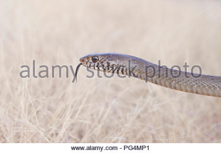 Serpent brun de l'Est du parc national de l'Inde en