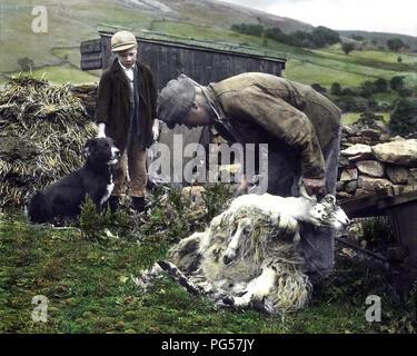La tonte des moutons dans Swaledale dans les années 1940 (photo colorée à la main) Banque D'Images