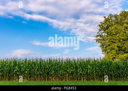 Beau ciel au-dessus de champ de maïs en début de soirée d'été. Banque D'Images