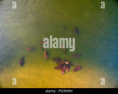 Un groupe d'hippopotames dans la rivière Zambèze Banque D'Images