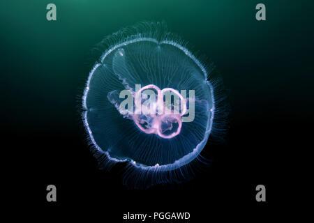 Méduse méduse de lune, lune, commune de la gelée, ou une soucoupe en gelée (Aurelia aurita) Banque D'Images