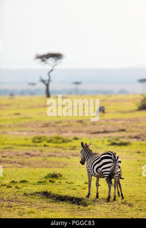 Des zèbres au parc safari au Kenya Banque D'Images