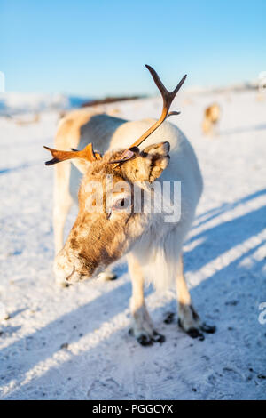 Rennes dans le Nord de la Norvège sur la journée d'hiver ensoleillée Banque D'Images