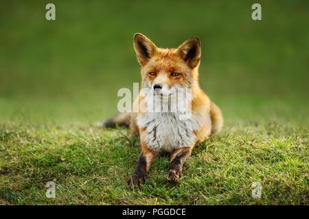 Close up of a red fox couché dans l'herbe en été. Banque D'Images