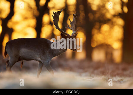 Close-up d'un cerf Daim marcher sur un automne précoce matin contre soleil levant, UK. Banque D'Images