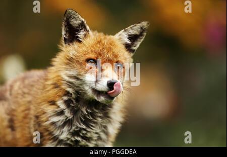 Close-up of a red fox avec sa langue au cours d'une visite dans le jardin, UK. Banque D'Images
