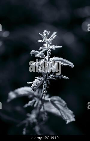 Ortie de macro de fleurs. Northern Prairie portugais au printemps. La lumière de fin de journée. Shallow DOF. Converti aux tons noir et blanc et bleu. Banque D'Images