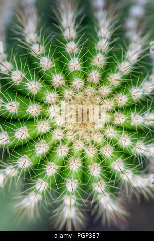 Détail Cactus, haut de cactus, close-up Banque D'Images