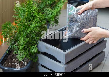 Le repiquage jardinier femme Thuja arbre dans un nouveau pot en bois sur le balcon. Close up. Mettre le drainage au pot.