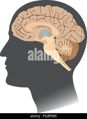 Cerveau humain isoler blanc. Corps anatomie infographie. L'illustration. Banque D'Images