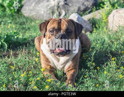 Le chien est un boxeur allemand avec rayures marron, se trouve sur l'herbe, le soleil illumine l'animal, se penche sur l'appareil photo, à l'arrière-plan gris grande Banque D'Images
