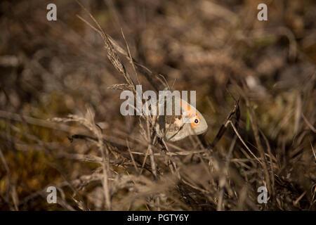Un seul contrôleur d'Earthy-Gold Hedge-Brown- papillon ou réglé sur les herbages, Kent, UK. Banque D'Images